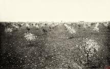 37 - Część plantacji drzew owocowych