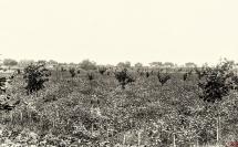 38 - Nasiennictwo karotki mantyjskiej