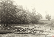 46 - Owce w parku