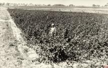 79 - Plantacja malin