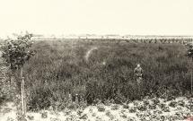 80 - Nasiennictwo buraków pastewnych - 50 morgów